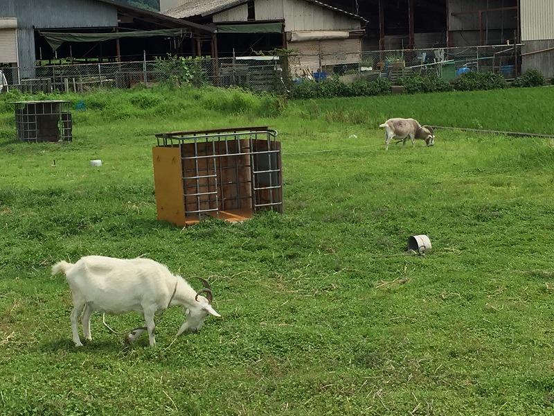 名山農園近くのヤギ